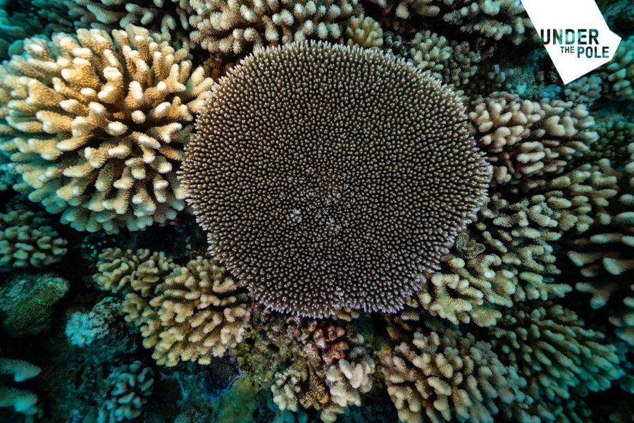 """Under The Pole : le premier article scientifique publié pour le programme d'étude des coraux en Polynésie française """"Deep Hope"""""""